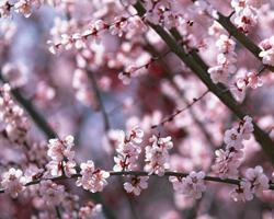 2725 pub Япония   страна вечноцветущей сакуры